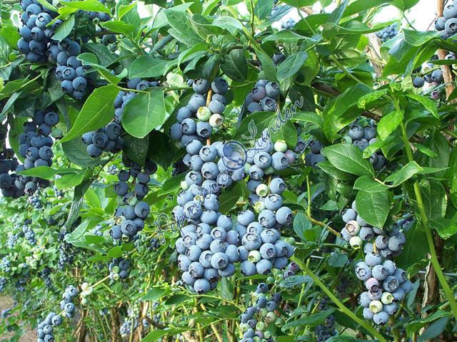 Te-ai gandit vreodata sa investesti intr-o plantatie cu arbusti de afini?